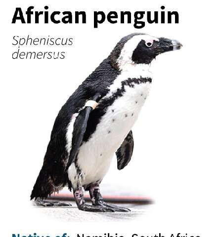 Fact file on the African penguin
