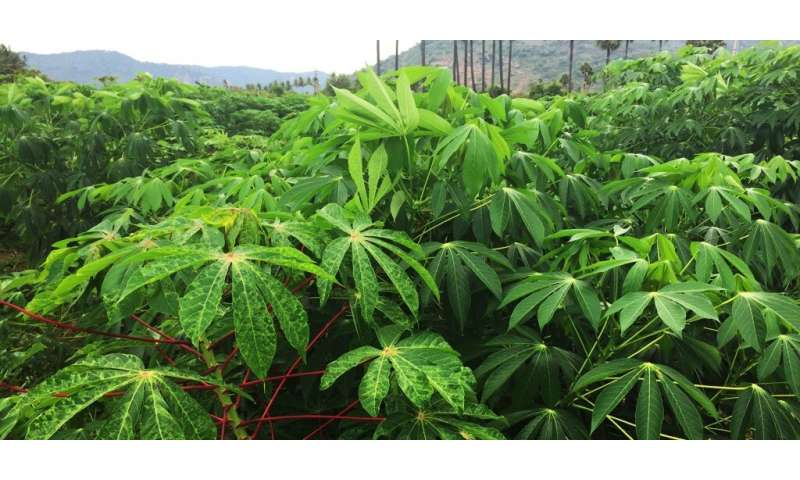 Gene-editing technology to create virus-resistant cassava plant has opposite effect, researchers find