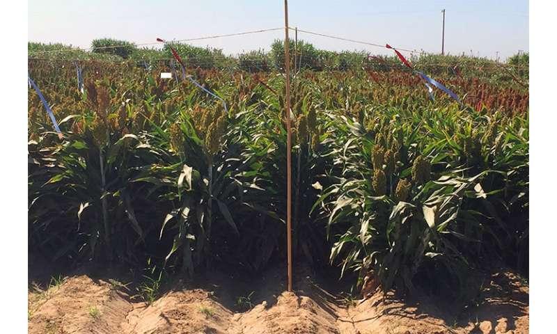 Genomic gymnastics help sorghum plant survive drought