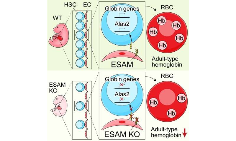 Hematopoietic stem cell marker: A key player in the ontogeny of hematopoiesis
