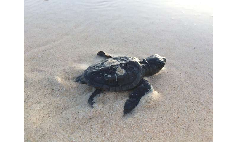 No new males: Climate change threat to Cape Verde turtles