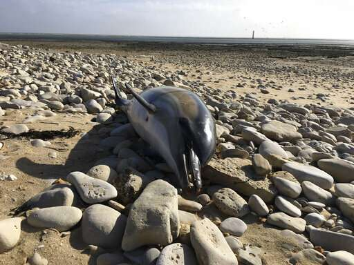 Record 1,100 dolphins wash up on French shores this year