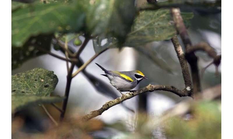 Study finds sex bias in bird conservation plans