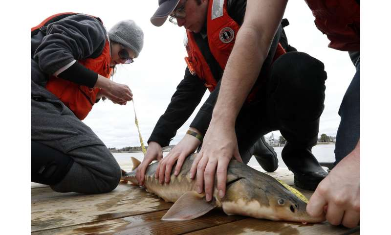 Sturgeon, America's forgotten dinosaurs, show signs of life