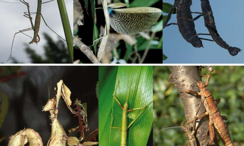 Was early stick insect evolution triggered by birds and mammals?