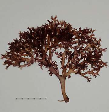 New species of seaweed uncovered by genetic analyses