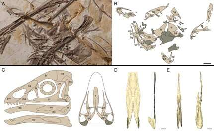 **Scientists reveal origin for kinetic skulls in early Cretaceous paraves