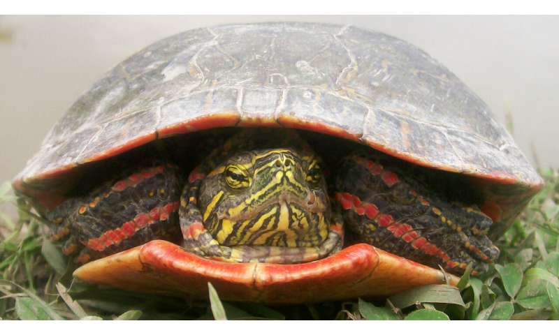 Climate change could devastate painted turtles, according to new study