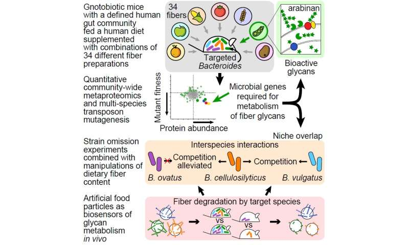Researchers alter mouse gut microbiomes by feeding good bacteria their preferred fibers