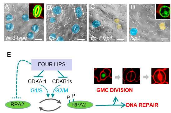 Scientists find precise control of terminal division during plant stomatal development