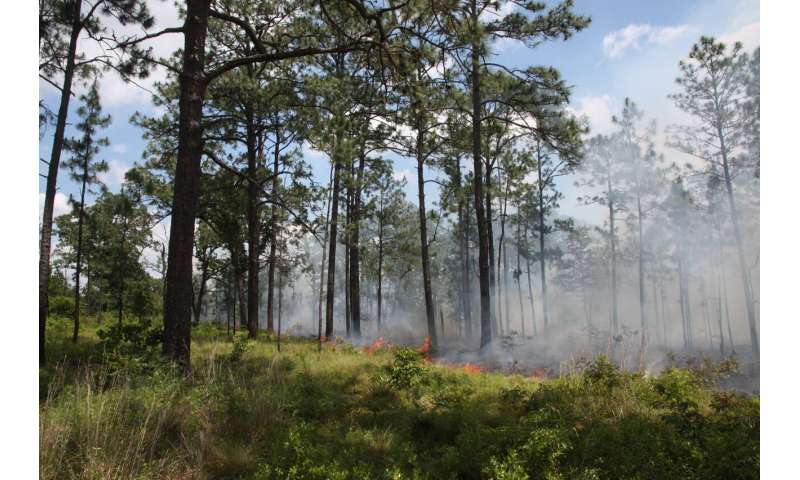 Study reveals unexpected fire role in longleaf pine forests