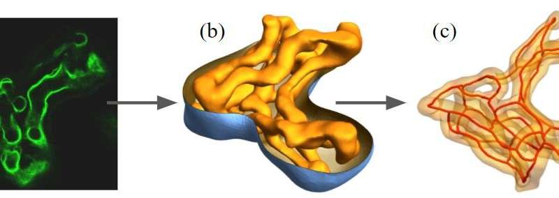 3D modelling identifies nutrient exchange in the human placenta