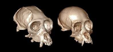 3D reconstruction of craniums elucidates the evolution of New World monkeys