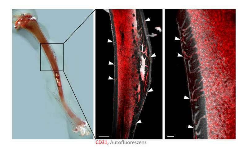 Discovery of blood vessel system in bones