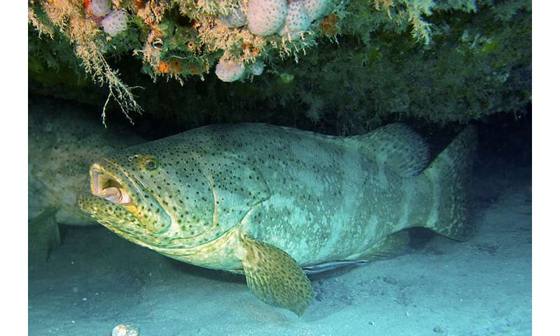 Researchers find risk in reopening Florida goliath grouper fishery