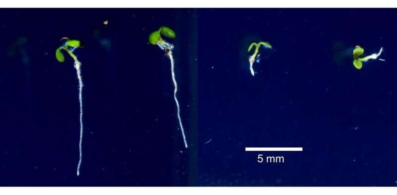 Getting to the root of how plants tolerate too much iron