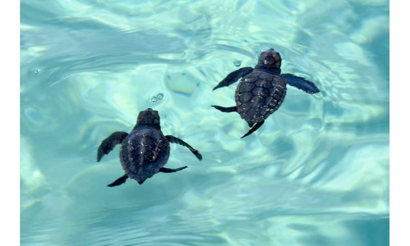 Loggerhead turtle hatchlings head for deeper waters off Tunisia's Kuriat Island