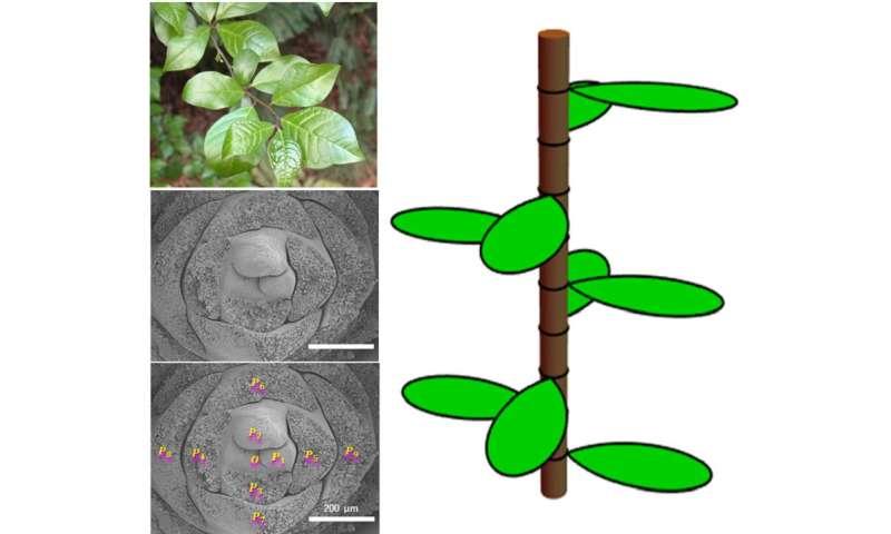 Mathematics of plant leaves