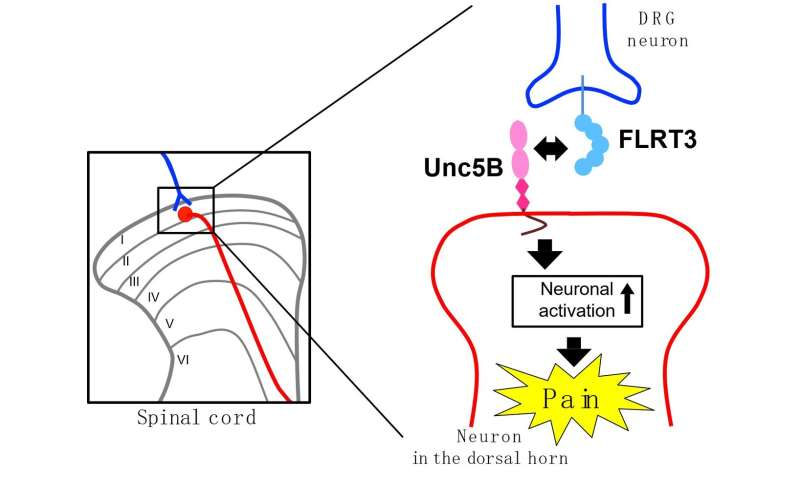 Multi-tasking protein at the root of neuropathic pain