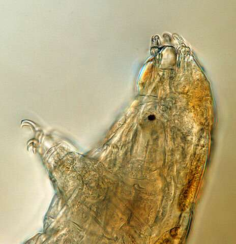 Science Says: Tiny 'water bears' can teach us about survival