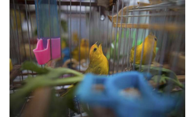 Songbirds silenced as Colombia fights wildlife trafficking