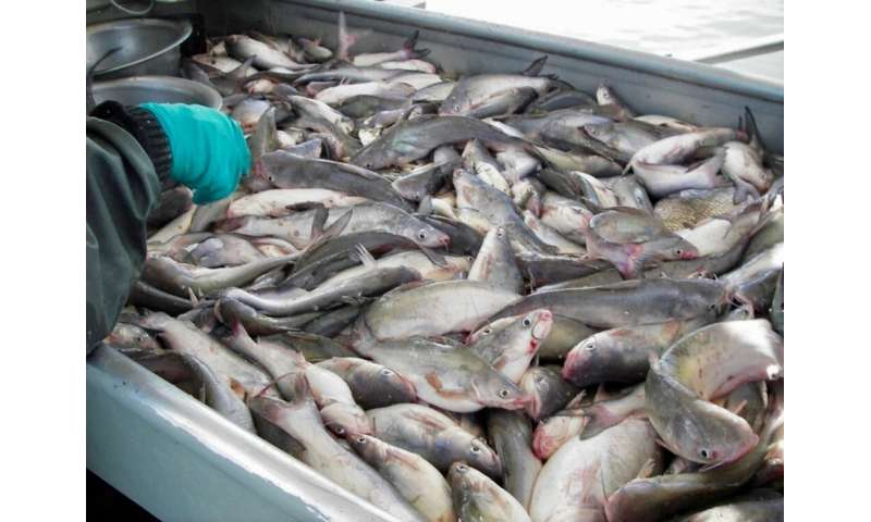Study shows invasive blue catfish can tolerate high salinities