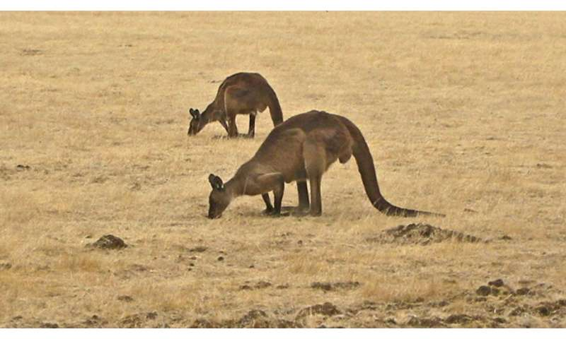 Study suggests better method to manage kangaroo populations