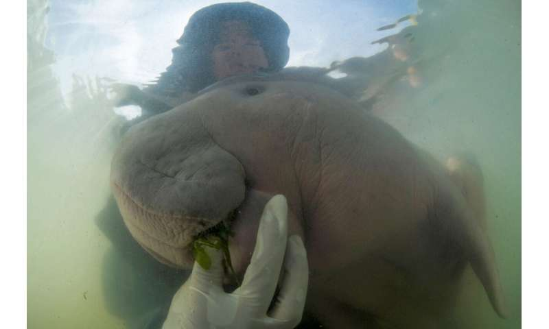 Thai vets nurture lost baby dugong with milk and sea grass