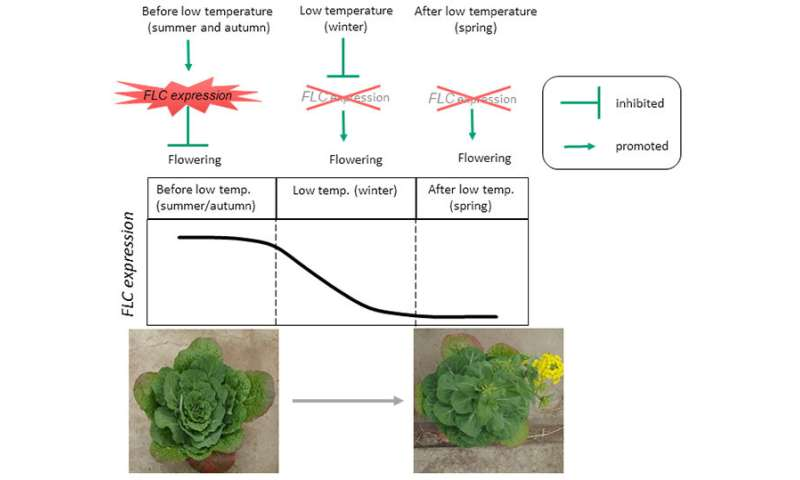The mechanism that controls Chinese cabbage flowering