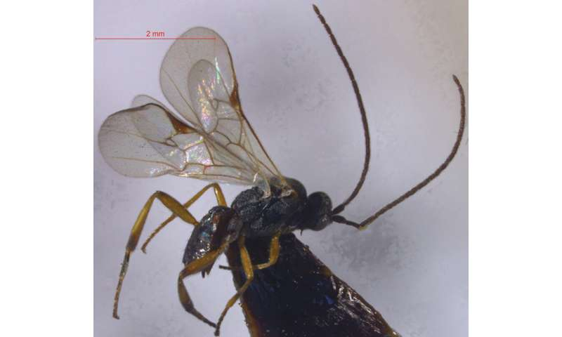 Two new species of parasitic wasps described from an altitude of over 3,400 m in Tibet