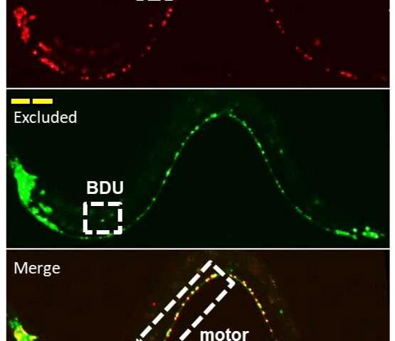 Researchers explore origins of neuron diversity
