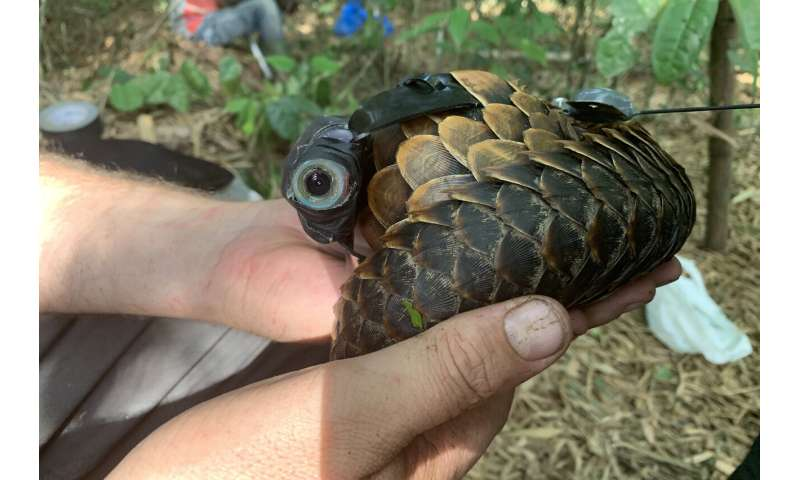 Researchers explore secret lives of world's most trafficked mammal