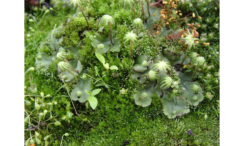 Scientists find new class of flavonoid pigments in liverworts