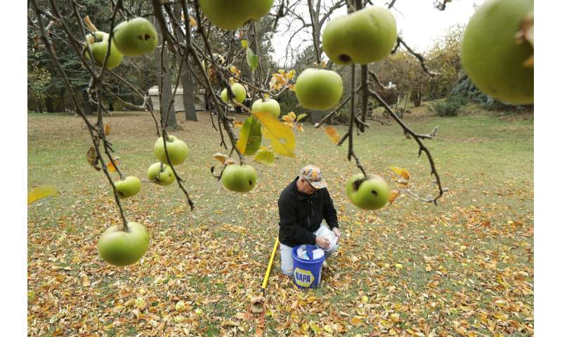 Apple sleuths hunt Northwest for varieties believed extinct