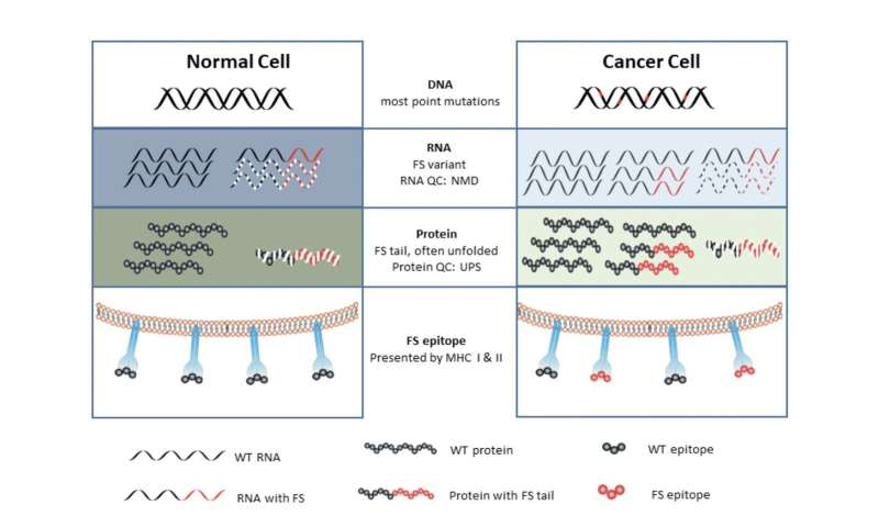Discovery of new source of cancer antigens may expand cancer vaccine capabilities