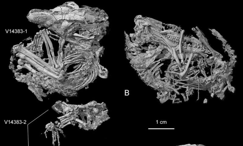 New cretaceous mammal provides evidence for separation of hearing and chewing modules