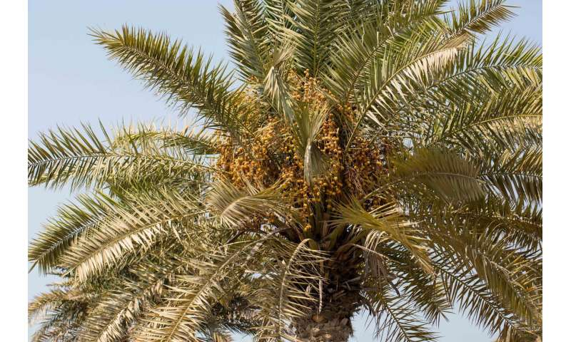 NYU Abu Dhabi researchers release a new genome sequence of the date palm