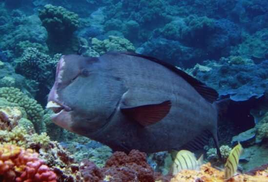 Scientists investigate the relationship between bumphead parrotfish and their coral reef habitat on a molecular level