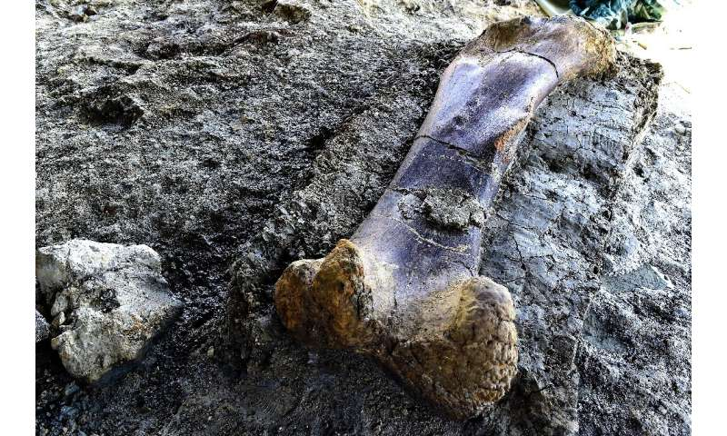 Scientists say the femur might have belonged to a gigantic sauropod