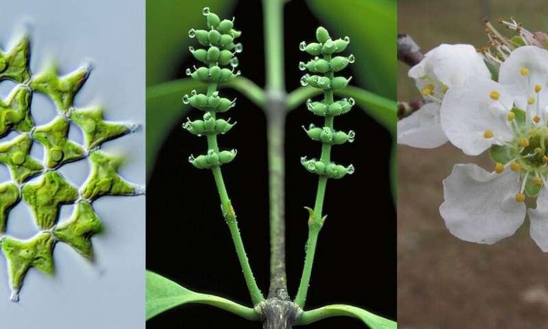 Study provides framework for one billion years of green plant evolution