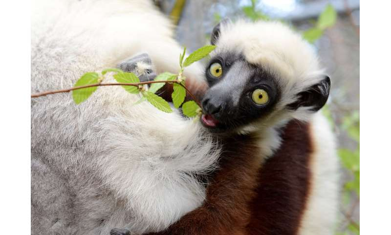 The surprising reason why some lemurs may be more sensitive to forest loss