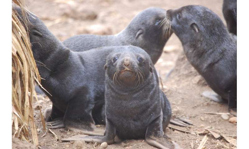Climate change, maternal care & parasitic infection all connected in SA fur seals