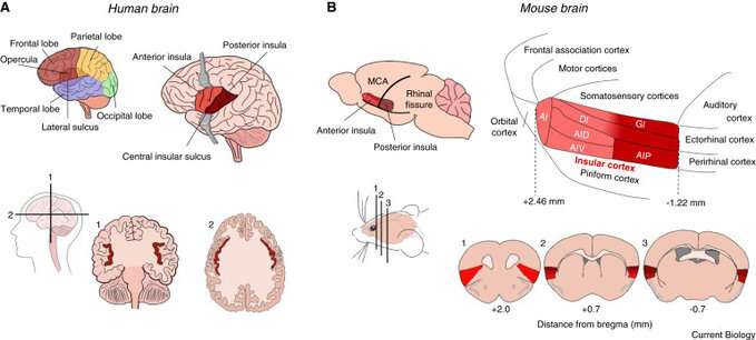 Researchers study how the insular cortex processes negative emotions and bodily states