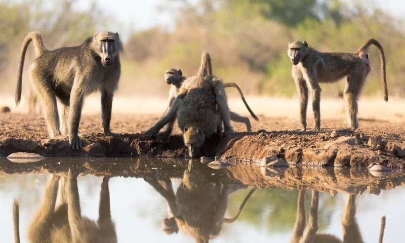 Climate change is putting even resilient and adaptable animals like baboons at risk