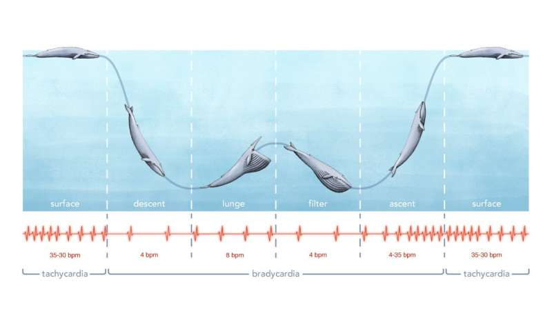 Researchers report first recording of a blue whale's heart rate