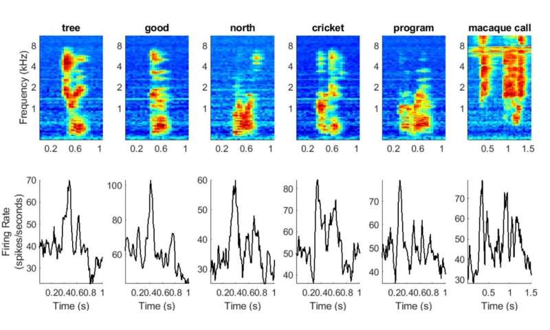 Researchers reconstruct spoken words as processed in nonhuman primate brains