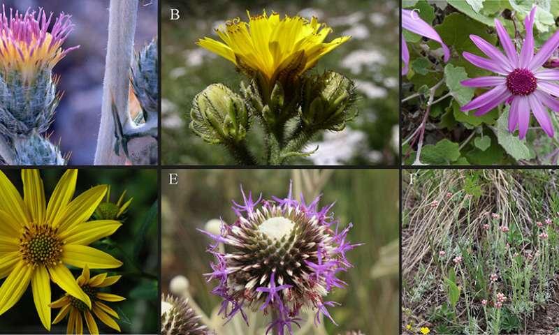 Understanding Asteraceae: Validation of a Hyb-Seq probe set for evolutionary studies
