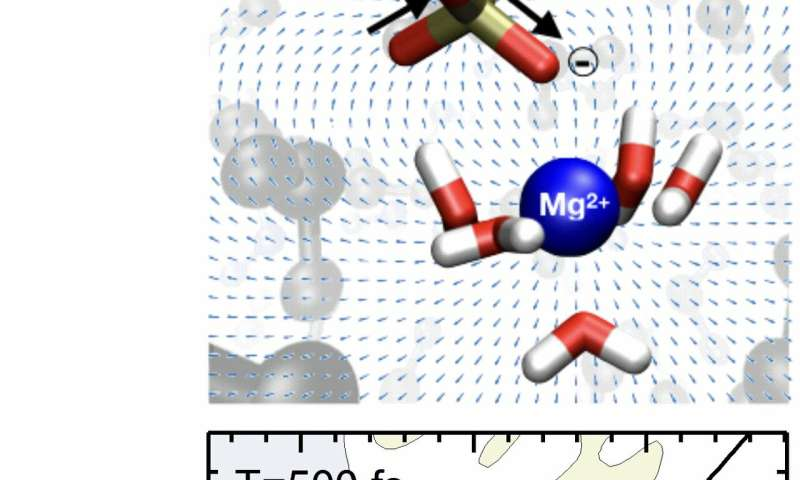 New dynamic probes for ions interacting with biomolecules