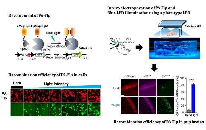 Noninvasive Light-Sensitive Recombinase for Deep Brain Genetic Manipulation