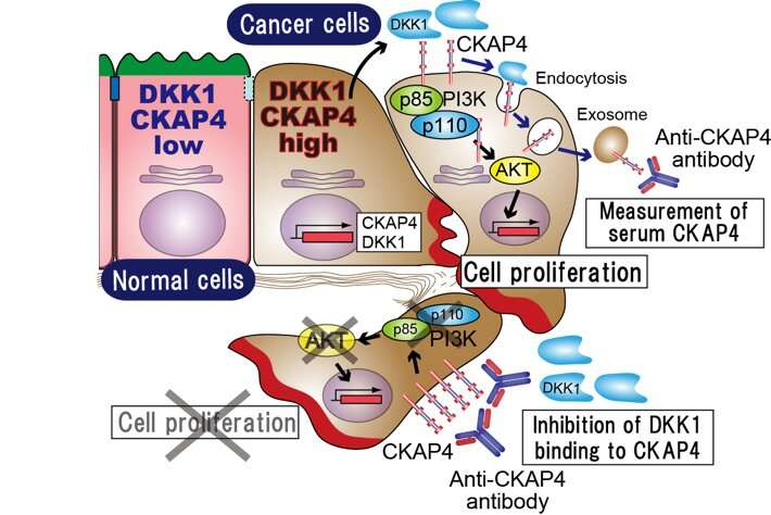 Therapeutic and diagnostic functions of one antibody for pancreatic cancer
